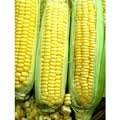 The Dirty Gardener Bi-Color G90 Sweet Corn Seeds, 1 Pound Photo, best price  new 2020