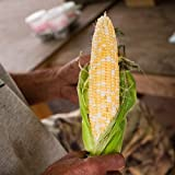 Stonysoil Seed Company Butter and Sugar Corn Seeds Photo, best price $7.95 new 2020