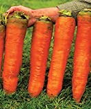 Carrot Giant Seeds Red Vegetable for Planting Giant Non GMO 2000 Seeds Photo, best price $6.98 new 2020