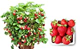 Organic Container Strawberry 315 Seeds + 1 Free Plant Marker - Delicious, Low-Maintenance Photo, best price $5.09 new 2020