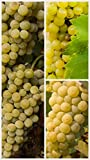 Homegrown Grape Seeds, 20 Seeds, Edelweiss Grape Early Ripening Photo, best price $5.45 new 2020