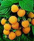 Raspberry Plant - Fall Gold - Organic - ORDER NOW for FALL PLANTING !!! Photo, best price $49.99 new 2020