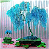 Sale 50pcs Rare Sky Blue Willow Seeds Chinese Perennial Flower Indoor Plants Seed Evergreen Bonsai Tree For Garden Decoration Multi-Colored Photo, best price $1.56 new 2020