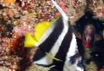 Heniochus Black & White Butterflyfish care and characteristics