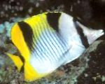 Falcula Butterflyfish care and characteristics
