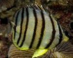 Eight banded butterfly fish care and characteristics