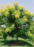 Photo Arbre De Pluie D'or, Goldenraintree Panicled la description