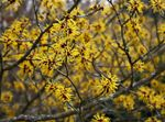 Photo Witchhazel la description
