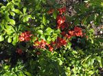 Photo Flowering quince description