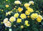Photo Polyantha Rose la description