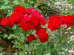 Photo Polyantha rose description