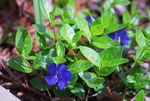 Photo Common Periwinkle, Creeping Myrtle, Flower-of-Death description