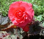 Photo Wax Begonia, Tuberous Begonia description
