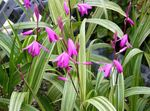 Photo Ground Orchid, The Striped Bletilla description