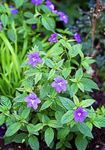 Photo Bush Violet, Saphir Fleurs la description