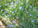 Photo Bluebell Australien, Grand Bluebell la description