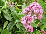 Photo Jupiter's Beard, Keys to Heaven, Red Valerian description