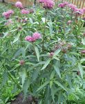 foto Palude Milkweed, Milkweed Maypops, Rosa, Rosso Asclepiade descrizione