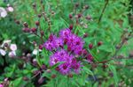 Photo Ironweed description
