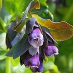 Photo Honeywort, Blue Shrimp Plant, Blue Wax Flower description