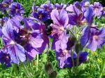 Photo Hardy geranium, Wild Geranium description