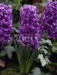 Photo Dutch Hyacinth description