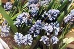 Photo Hyacinthella Pallasiana la description