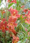 Photo Sticky Monkeyflower description