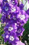 Photo Delphinium description