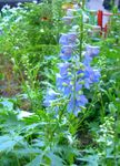 Photo Delphinium la description