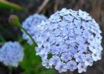 Photo Blue Lace Flower, Rottnest Island Daisy description