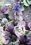 Photo Bugle, Bugleweed description