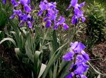Photo Iris description