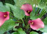 Photo Lys Calla, Arum la description
