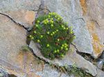 Photo Saxifraga description