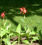 Photo Canna Lily, Indian shot plant description