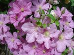 Photo Clematis description