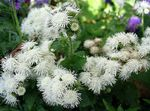 white Floss Flower, Ageratum houstonianum Photo
