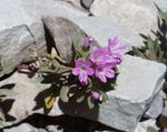 Photo Collomia description
