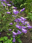 Photo Campanula, Bellflower description