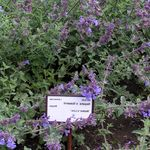 Photo Cat mint description