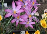 Photo Early Crocus, Tommasini's Crocus, Snow Crocus, Tommies description