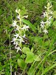 Photo Species Orchid, Lesser Butterfly Orchid, Two-Leafed Platanthera description