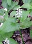 Photo False Lily of the Valley, Wild Lily of the Valley, Two-leaf False Solomon's Seal description