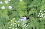 Photo Sweet cicely description