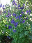 Photo Monkshood description