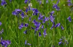 Photo Spanish Bluebell, Wood Hyacinth description