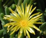 Photo Ice Plant description