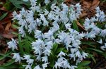 Photo Striped Squill, Snowdrift, Early Stardrift description