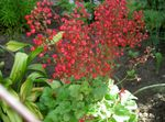 Photo Coral Bells, Alumroot, Coralbells, Alum Root description
